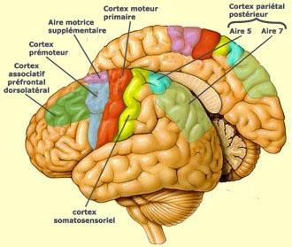 Cerveau-Humain01